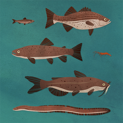 Sustainable seafood illustration kellie komorita for Most sustainable fish